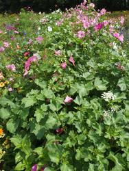 FUCHSIA - květinová směs - 2
