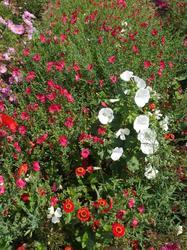 JAHODA - květinová směs - 2