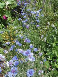 MODRÁ - květinová směs - 2