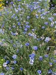MODRÝ TANEC - květinová směs - 2