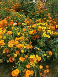 ORANŽOVÝ KOBEREC - květinová směs - 2