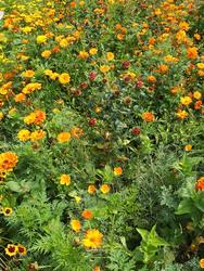 ORANŽOVÁ - květinová směs - 2