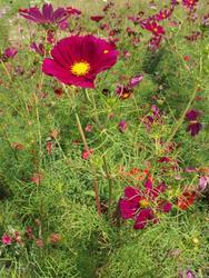 ČERVENÁ - květinová směs, 50 g - 3