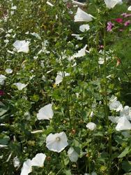 BÍLÁ - květinová směs, 50 g - 3