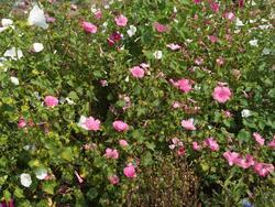 FUCHSIA - květinová směs, 500 g - Na objednávku - 3