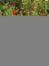 JAHODA - květinová směs, 50 g - 3