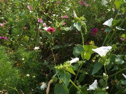 LETNÍ SKLIZEŇ - květinová směs, 50 g - 3
