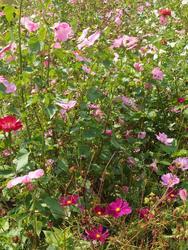 RŮŽOVÁ - květinová směs - 3