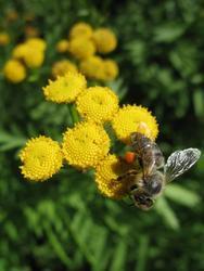 VILÍK včelí louka medonosná - 3