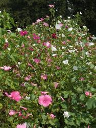 FUCHSIA - květinová směs, 500 g - Na objednávku - 4