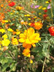 ORANŽOVÝ KOBEREC - květinová směs - 4