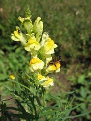 VILÍK včelí louka medonosná - 4